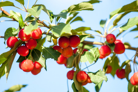pome: Crab apple is a genus of about 30 to 55 species of small deciduous apple trees or shrubs in the family Rosaceae