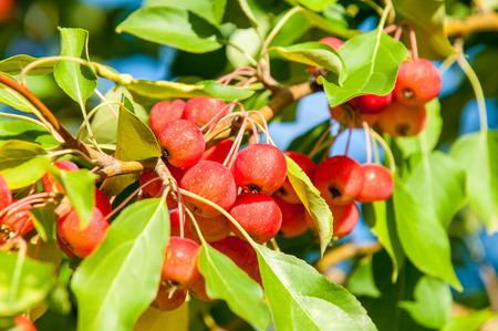 globose fruits: Crab apple and Wild apple.
