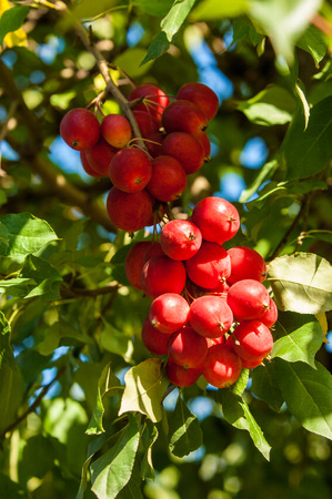 rosaceae: Crab-apple is a genus of about 30 to 55 species of small deciduous apple trees or shrubs in the family Rosaceae