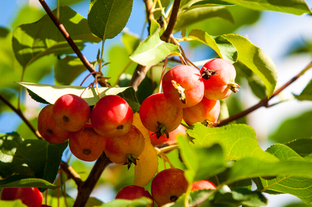 christmas paste: Crab apple is a genus of about 30%u201355 species of small deciduous apple trees or shrubs in the family Rosaceae