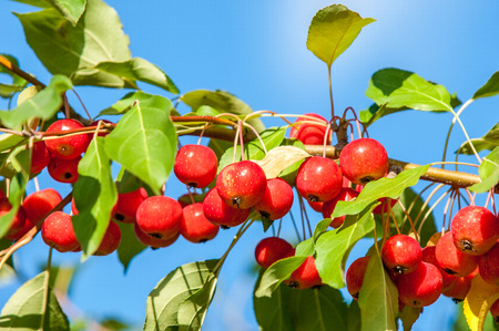 twiggy: Crab apple is a genus of about 30 to 55 species of small deciduous apple trees or shrubs in the family Rosaceae