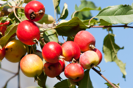 carpels: Crab apple is a genus of about 30 to 55 species of small deciduous apple trees or shrubs in the family Rosaceae