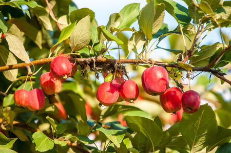 christmas paste: Crab apple is a genus of about 30 to 55 species of small deciduous apple trees or shrubs in the family Rosaceae