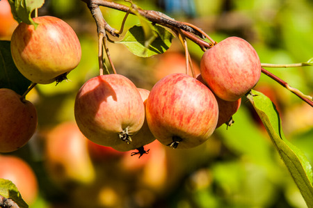 twiggy: Crab apple is a genus of about 30%u201355 species of small deciduous apple trees or shrubs in the family Rosaceae