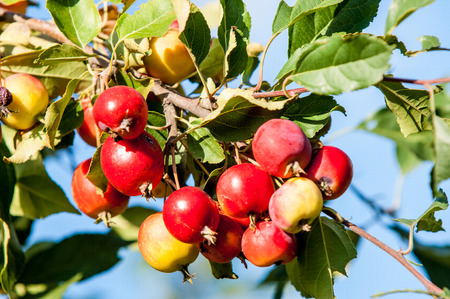 rosaceae: Crab apple is a genus of about 30 to 55 species of small deciduous apple trees or shrubs in the family Rosaceae
