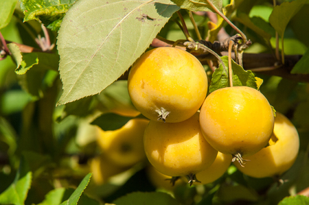 rosaceae: Crab apple is a genus of about 30%u201355 species of small deciduous apple trees or shrubs in the family Rosaceae