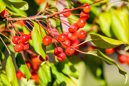 pomme: Crabapple is a genus of about 30 to 55 species of small deciduous apple trees or shrubs in the family Rosaceae