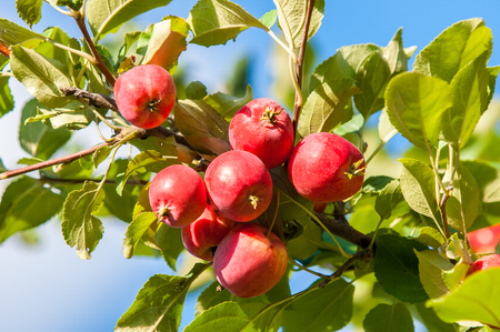 the sentinel: Crabapple is a genus of about 30 to 55 species of small deciduous apple trees or shrubs in the family Rosaceae