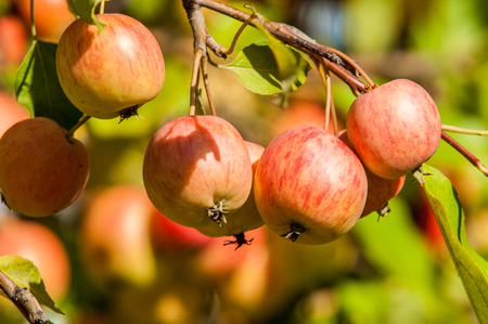 pome: Crabapple is a genus of about 30 to 55 species of small deciduous apple trees or shrubs in the family Rosaceae