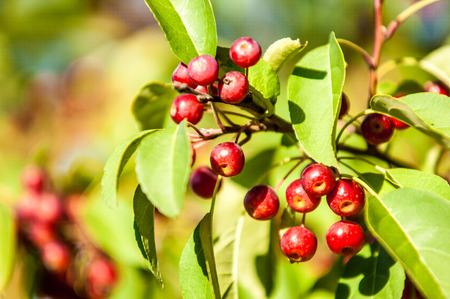 rosaceae: Crabapple is a genus of about 30 to 55 species of small deciduous apple trees or shrubs in the family Rosaceae