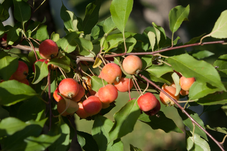twiggy: Crabapple is a genus of about 30 to 55 species of small deciduous apple trees or shrubs in the family Rosaceae