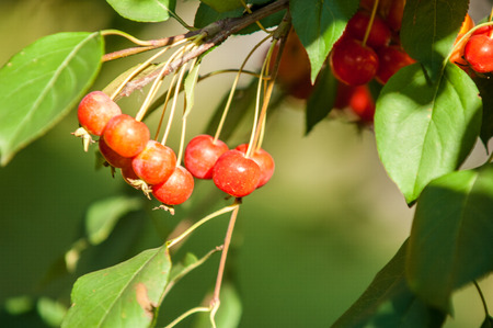 carpels: Crabapple is a genus of about 30 to 55 species of small deciduous apple trees or shrubs in the family Rosaceae