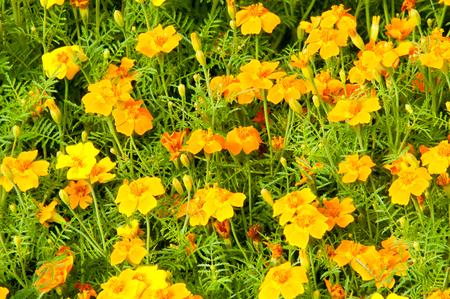 bina: Texture, background. Gaillardia.  ɡeɪˈlɑrdiə, the blanket flowers, is a genus of flowering plants in the sunflower family,