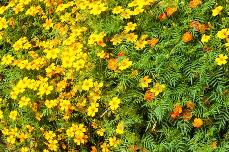 pappus: Texture, background. Gaillardia.  ɡeɪˈlɑrdiə, the blanket flowers, is a genus of flowering plants in the sunflower family,