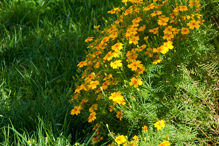 pappus: blur, Texture, background. Gaillardia.  ɡeɪˈlɑrdiə, the blanket flowers, is a genus of flowering plants in the sunflower family,