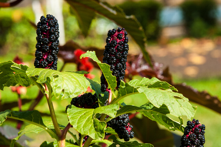 warblers: Texture, background. Phytolacca americana. American Pokeweed , or simply pokeweed, is a herbaceous perennial plant in the pokeweed family