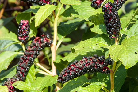 syphilis: Texture, background. Phytolacca americana. American Pokeweed , or simply pokeweed, is a herbaceous perennial plant in the pokeweed family