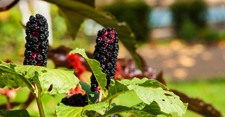 perennial plant: Texture, background. Phytolacca americana. American Pokeweed , or simply pokeweed, is a herbaceous perennial plant in the pokeweed family