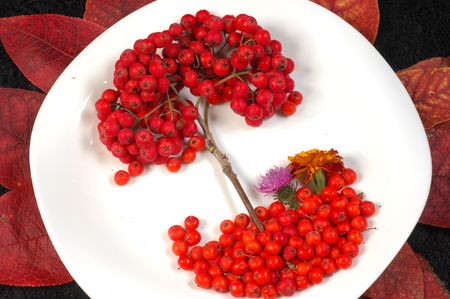 sorbus: rowan berries in autumn