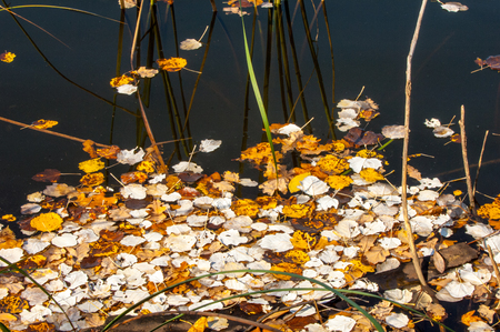 thickets: Texture, background. The leaves from the trees fell into the pond, autumn