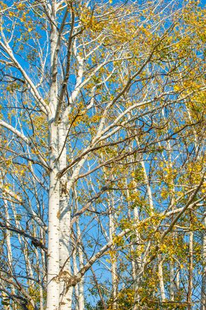 aspen tree: Texture, background. Aspen tree, the top of the tree, the tree crown in the fall Stock Photo