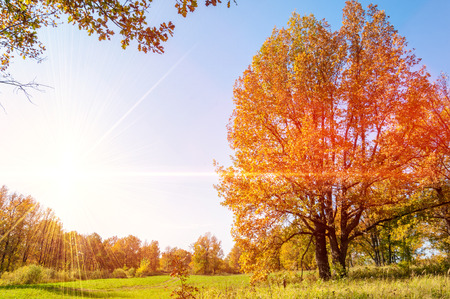 Autumn landscape. Big autumn oak with red leaves on a blue sky background.