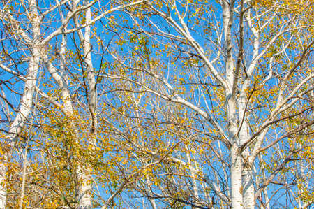 frondage: Texture, background. Aspen tree, the top of the tree, the tree crown in the fall Stock Photo