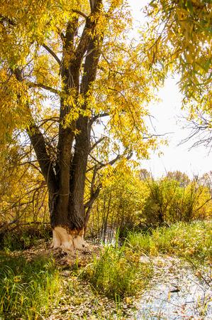 aspen tree: Autumn Beavers spoiled tree. European aspen tree almost taken down by beaver.