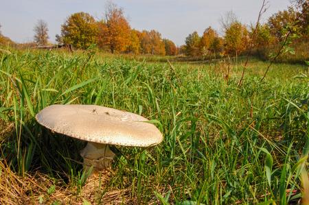 agaricus: Agaricus arvensis, horse mushroom, genus Agaricus.