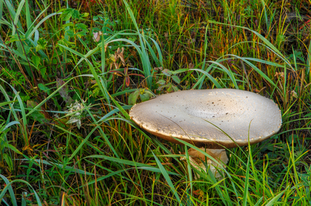 arvensis: Agaricus arvensis, horse mushroom, genus Agaricus.
