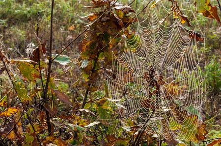 spiders web: web, cobweb, spiderweb, net, tissue, spiders web. Web in the autumn forest