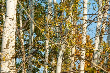 autumn splendor: Texture, background. Aspen tree, the top of the tree, the tree crown in the fall Stock Photo