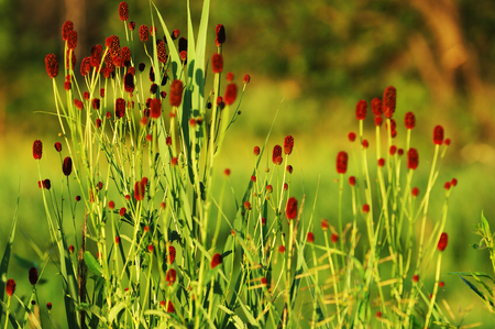 sanguisorba: Sanguisorba officinalis or great burnet Stock Photo