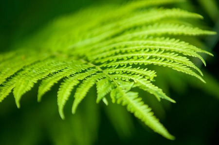 brake fern: fern, brake leaves