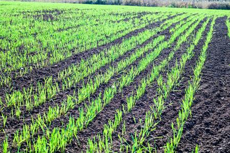 winter wheat: shoots of winter crops of grain Stock Photo