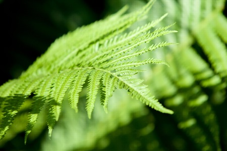 brake fern: fern, brake leaf Stock Photo