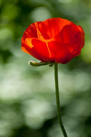 herbaceous  plant: poppy a herbaceous plant with showy flowers, milky sap, and rounded seed capsules Stock Photo