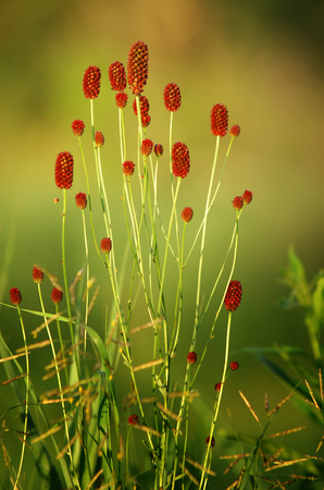 sanguisorba: Sanguisorba officinalis or great burnet Stock Photo