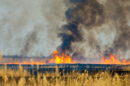 fire damage: burning reeds. fire. early spring, withered reeds, careless handling of fire Stock Photo