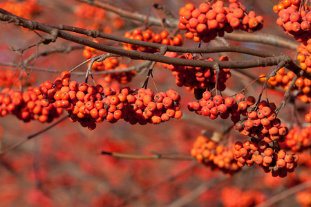 brightest: Rowan in the brightest clusters, red and yellow