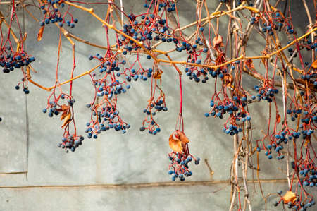 grape vines: Autumn wild grape vines on the wall with berries.  branch of wild grapes with leaves and berries on a sunny day