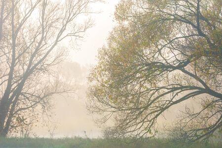 roble arbol: Niebla del otoño en el bosque mixto. Sueño de otoño. Parque en la niebla.