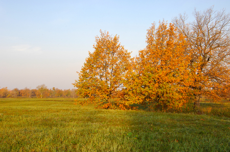 fall landscape: Fall lawn oak stands with gold leaves.  Lonely beautiful autumn tree. Autumn landscape.