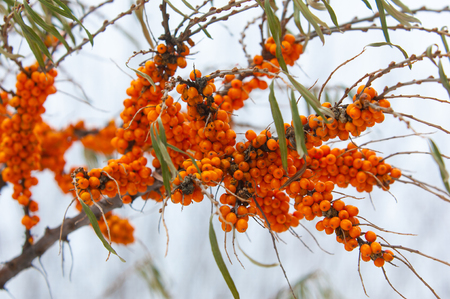 thorn: buckthorn in the winter. Berries of sea-buckthorn are in winter after a snow-fall. The branches of sea-buckthorn with snow. covered with snow wild sea buckthorn Stock Photo