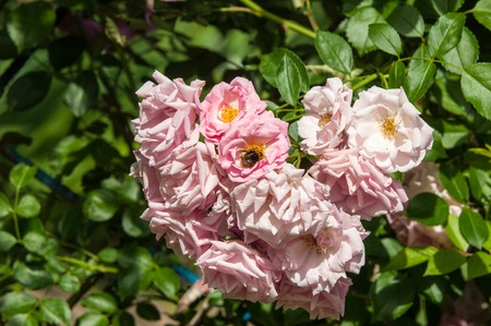 attar: hybrid tea roses. Tea rose. a garden rose with flowers that have a delicate scent said to resemble that of tea.  A medium pink cluster-flowered hybrid tea that blooms repeatedly.