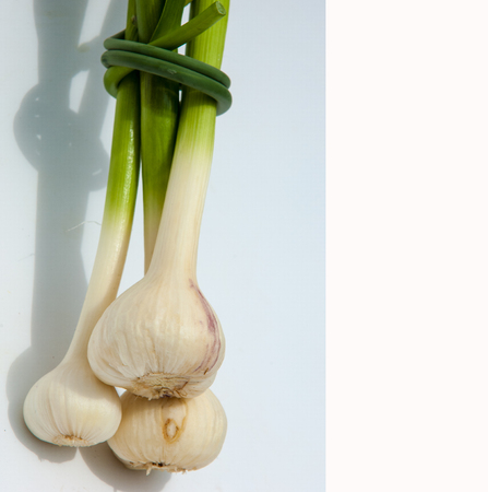 scurvy: garlic isolated on white background. a strong-smelling pungent-tasting bulb, used as a flavoring in cooking and in herbal medicine.