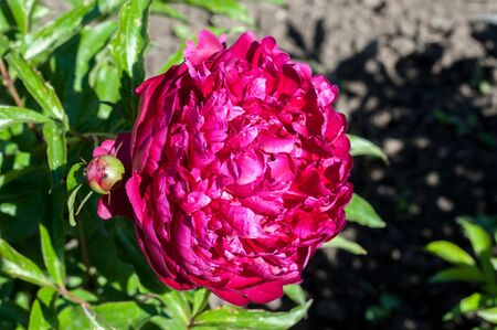 primarily: peony. Ornamental plant with large flowers, the primarily. white, pink or bright red.