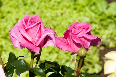 prickly flowers: rose flower. a prickly bush or shrub that typically bears red, pink, yellow, or white fragrant flowers, native to north temperate regions.