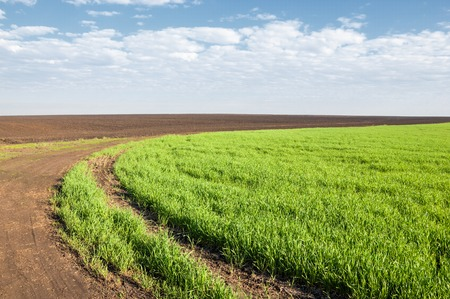 winter wheat: Seedlings of winter on the field. grass on the field. Spring, the winter wheat turning green. agricultural background of a field with green seedling rows. Young winter wheat on the field