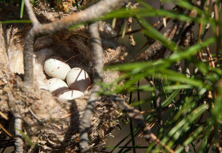 quail nest: Bird eggs in a nest. Stock Photo